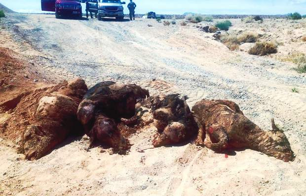 """Recent online photos of dead cattle being dug out of pits piqued the question of how many cattle were killed and buried. Cliven Bundy said there were only six head in the mass grave, with another two bulls found shot outside the grave. """"I also have 27 calves who were separated from their mothers, and based on the BLM's count am still short a total of 29 head. We don't know if they are dead, were hauled out, or if the BLM's count was inaccurate,"""" explained Cliven. Photo courtesy Bundy family"""