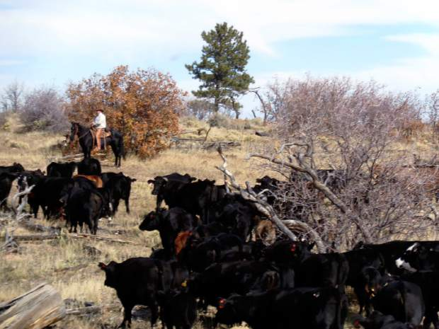 Johnson family riders move cattle to summer range on the Arizona Strip, Kaibab National Forest.