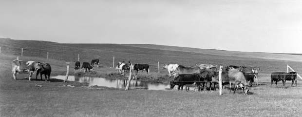 This Ernest C. Stark photo is among approximately 80 pictures from glass-plate negatives that show life on and around the eastern Montana homestead. The dairy-influence can be seen in the cattle the family raised for milk and used as oxen. Courtesy photo Stark family