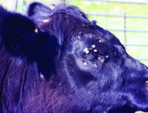 Skin Problems In Young Cattle Warts And Ringworm Tsln Com