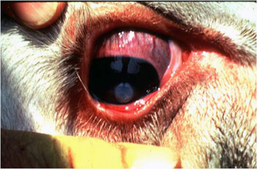 How Pinkeye Becomes A Problem In Cattle And Ways To Minimize The