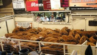 "Courtesy photo/Emily GillThe goal of the ""First Ever Red Angus Only Calf Sale"" was to spotlight the high-quality Red Angus-influenced calves in the Mobridge, SD area. Almost 4,000 head sold on Oct. 25 at Mobridge Livestock, including these heifers from Hollenbeck Ranch."