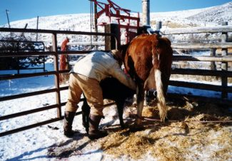 Assisting the bonding process between cow and calf