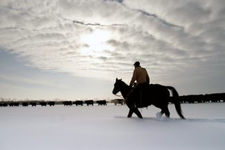 Courtesy photo/Ryan T. BellMontana cowboy Matt Graveley helps tend Angus cows and calves at the Stevenson Sputnik Ranch south of Moscow in February 2011.