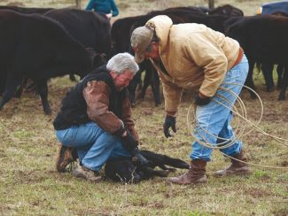 Courtesy photoIf a calf can be treated early - at the first signs of acute gut pain or bloat, there is a good chance of saving him. Infection can be halted with proper antibiotics, and the shutdown gut can be stimulated with castor oil to start things moving through again.