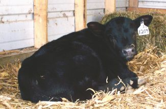 Photo by Leah Bohlander Calving lots or pens should be cleaned frequently during calving season to ensure a clean environment for the calf to spent its first few hours of life in.