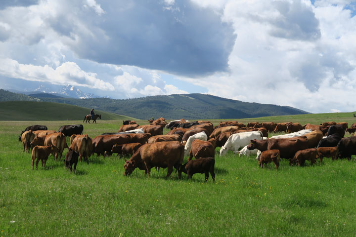 5L Ranch cattle graze in Big Sky country