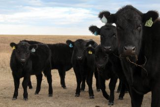 Early Weaning Calves During Drought Conditions