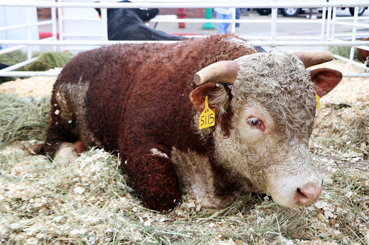 This Hereford Bull From The Logterman Family Ranch Of Kilgore Thought It Was A Long Day To Be In Town