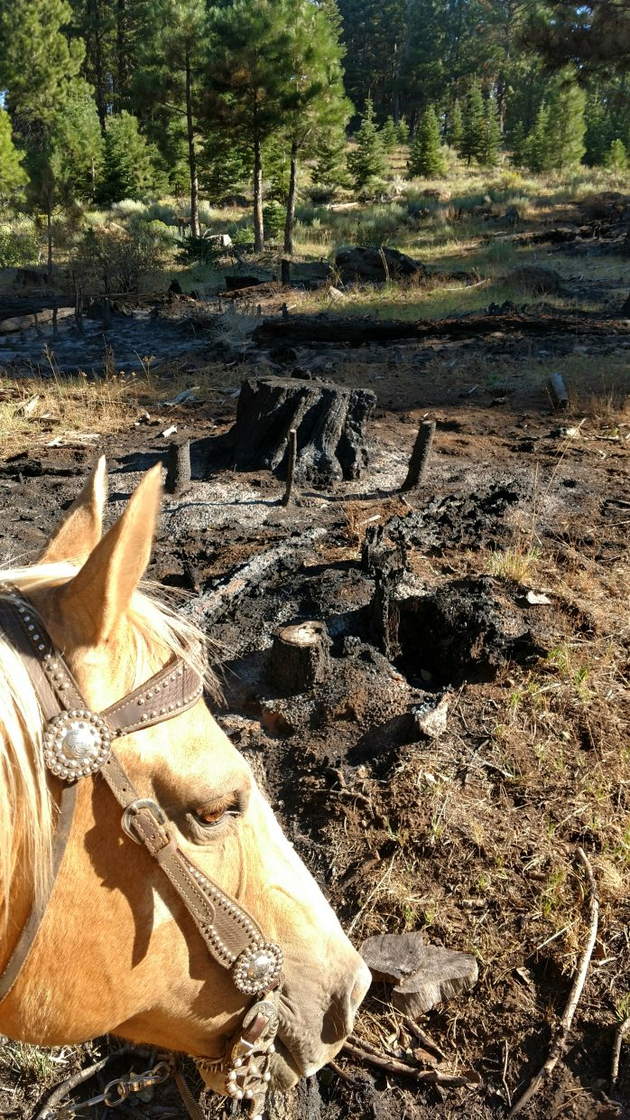 The Parker Fire, in Modoc County, California, started August 3, 2017. It burned nearly 8,000 acres of grass, brush and timber. It started when lightning struck a grazing allotment. Jennifer Burns said they've collected all their cattle but four pair, and some neighboring ranchers are still looking for more. One of the biggest problems is that many of the cattle trails are no longer passable, while the cattle can now get to other areas that were inaccessible. Another issue is that the root systems on the big trees are still smoldering, and give way when the cattle step on the ground above, making the cattle spook and scatter. Photo by Jessica Burns.