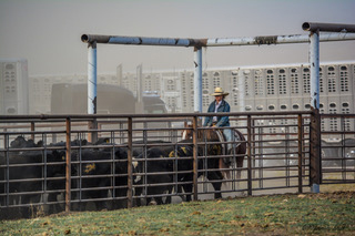 Shipping yearlings at the Flat Iron Ranch, a unit of Sunlight Ranch in Montana, was a dusty, smoky job this year. Photo by Jamie Gill.