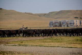 Shipping yearlings at the Flat Iron Ranch, a unit of Sunlight Ranch in Montana. Photo by Jamie Gill.