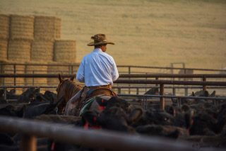 Shipping yearlings in the dust and smoke of a summer of drought and fire in Montana.
