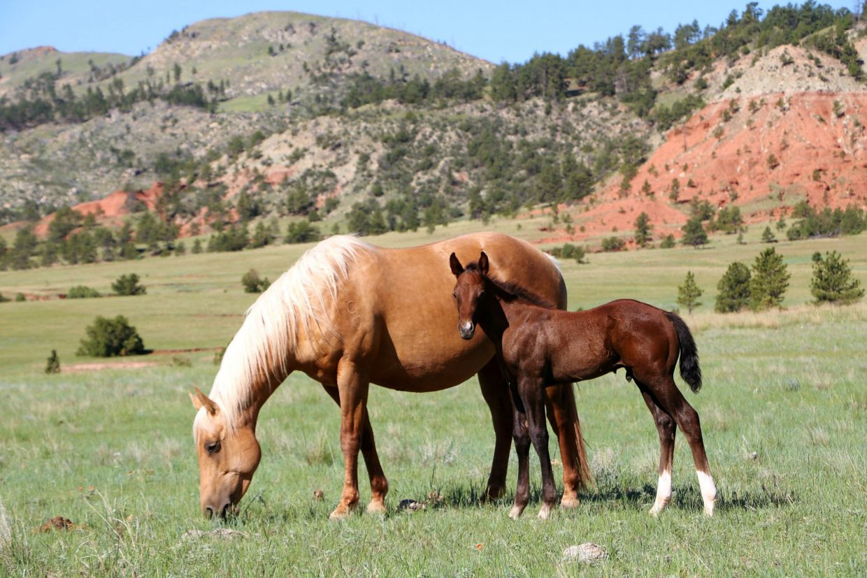 The Cee Heart has been branded into many left shoulders throughout the Chords' 35 years of raising Quarter Horses, including this mare Cee Heart Gold Lena, with her 2017 stud colt. Photo courtesy Chord family