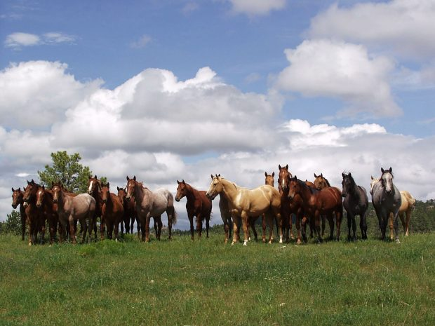 A strong Chord: Cee Heart Quarter Horses named producer of the year ...