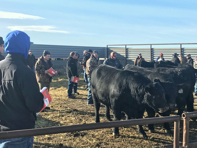 Bull buyers enjoyed the sun while they looked at some quality cattle.