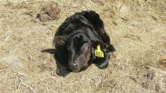 Good management of nutrition helps calves maintain strength