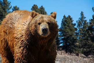 Big Problem: Increasing wolf, grizzly bear populations present challenges for ranchers, hunters