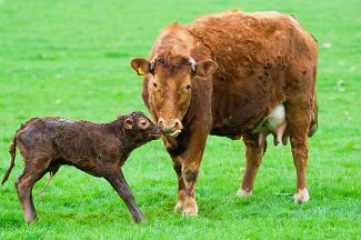 Although calving management perspectives vary, cow reproductive readiness should not