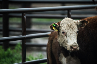 Winter Cattle Journal 2019: Smart tags keep a pulse on cowherds