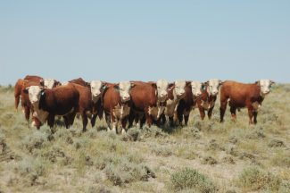 Winter Cattle Journal 2019: Largent & Sons