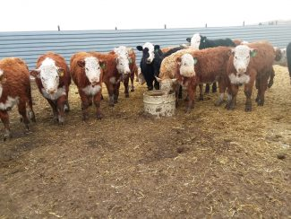 Winter Cattle Journal  2019: Managing Minerals