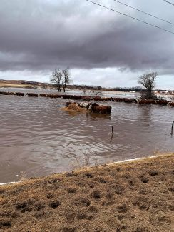 Nebraska crisis; cattlemen flooded with no place to go