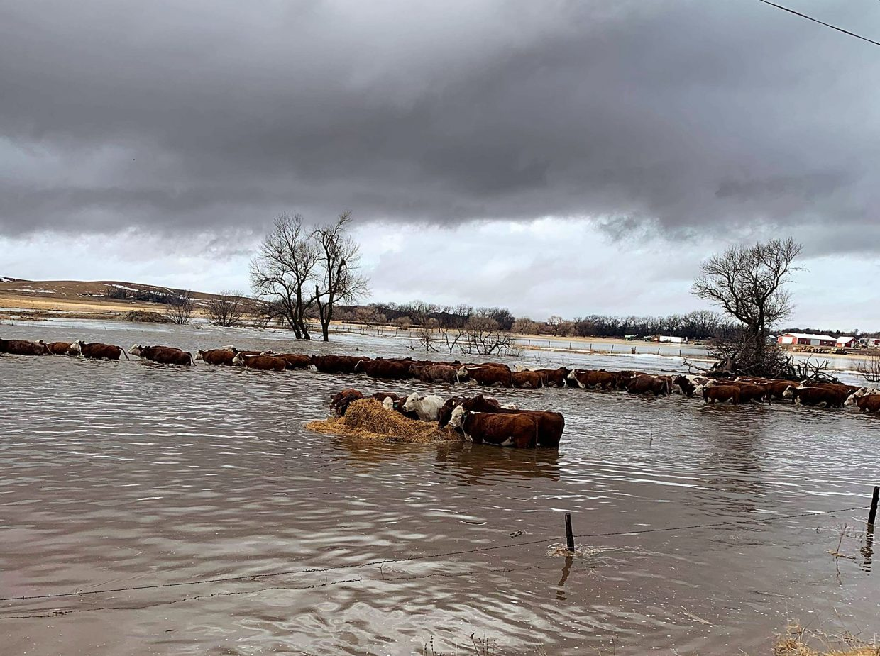 Cattle trying to cross flooded Clear Creek. Photo by Leah Peterson