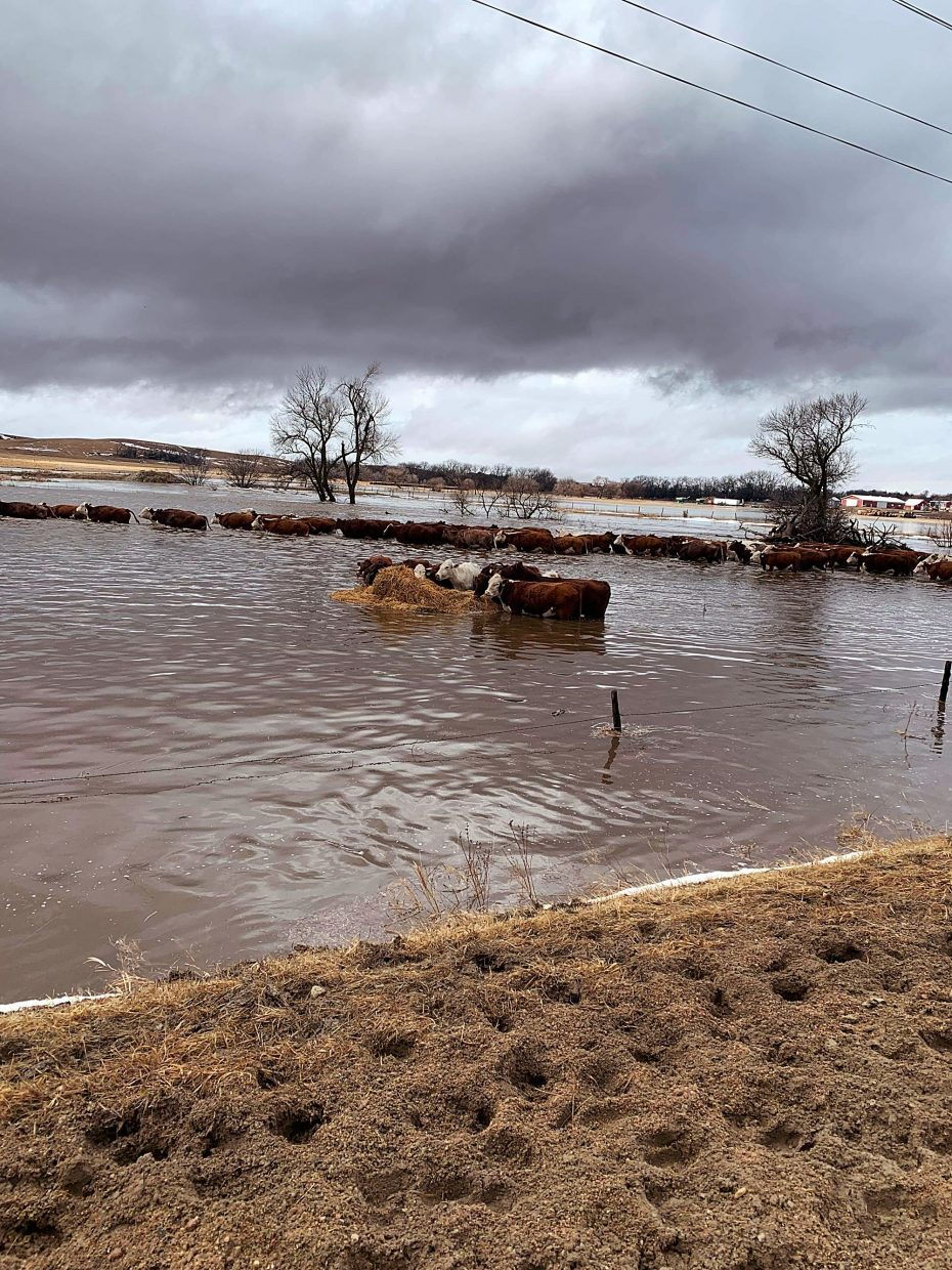 Cattle trying to cross flooded Clear Creek. Photo by Leah Peterson.