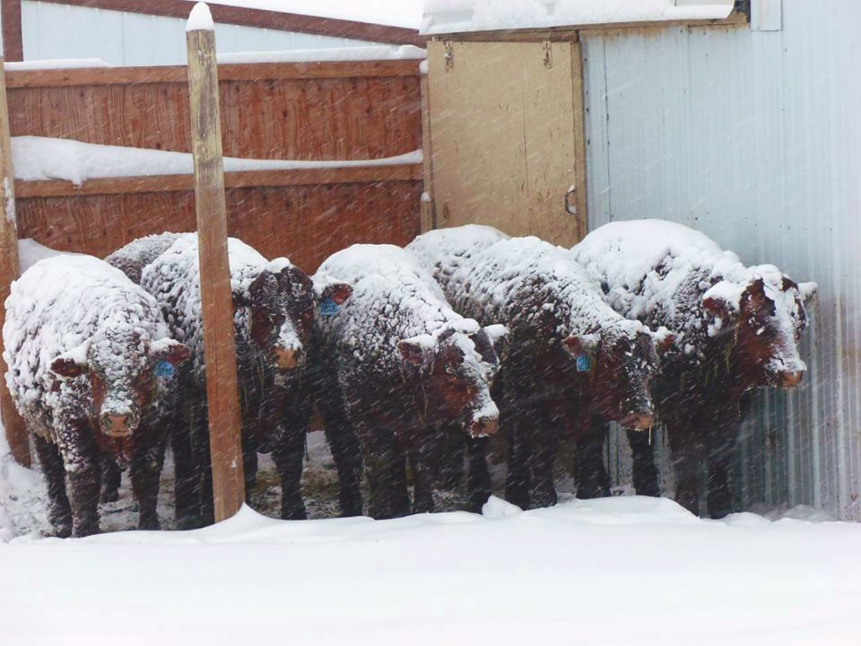 Ranchers are seeing cows caked in snow and ice regularly with significant snow and high winds for the last several weeks. The weather forecast indicates this weather pattern will remain for at least the near term. Photo taken at Weyer Ranch, Miles City, MT, last February, by Debbie Weyer