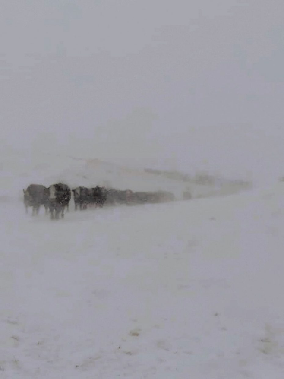 L7 Ranch north of Terry, MT. Coming to feed on a blustery day. Photo courtesy Tonya Rolf-Liles
