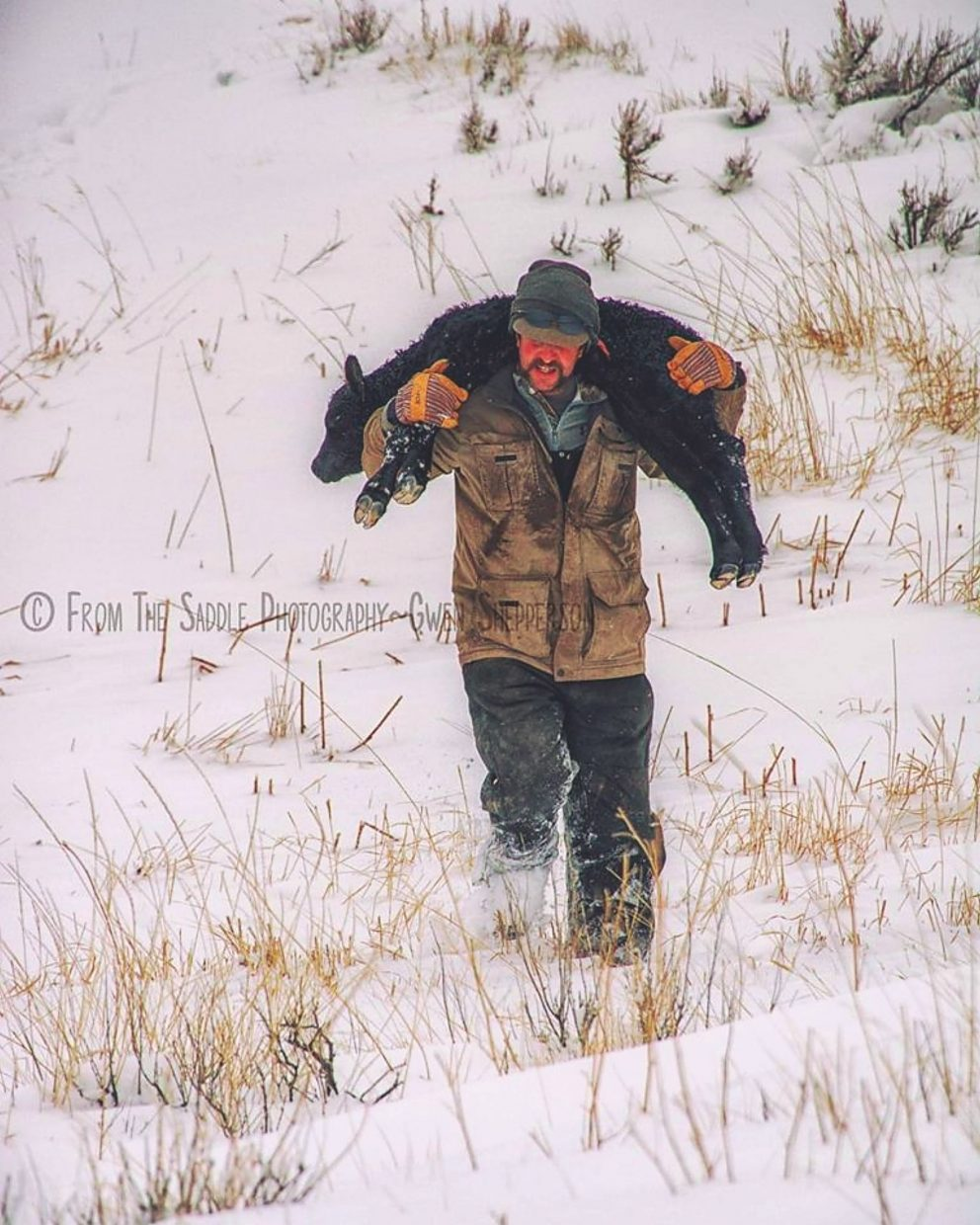 Reno Shepperson carrying a newborn calf to dry ground on the Buffalo Creek Ranch, Wyoming. Photo by Gwen Shepperson