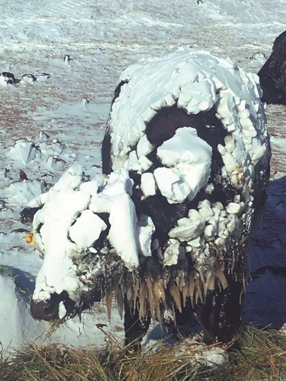 Ranchers are seeing cows caked in snow and ice regularly with significant snow and high winds for th last several days. The weather forecast indicates this weather pattern will remain for at least the near term. Photo by Craig Mollman, Ludlow, South Dakota