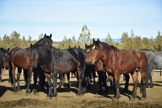 Successful wild horse gather sets positive tone for the future