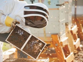 MSU researchers to share latest on bees at April 18 symposium