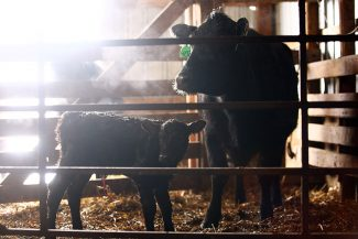 How Early is Too Early? Are gestation lengths changing in cattle?
